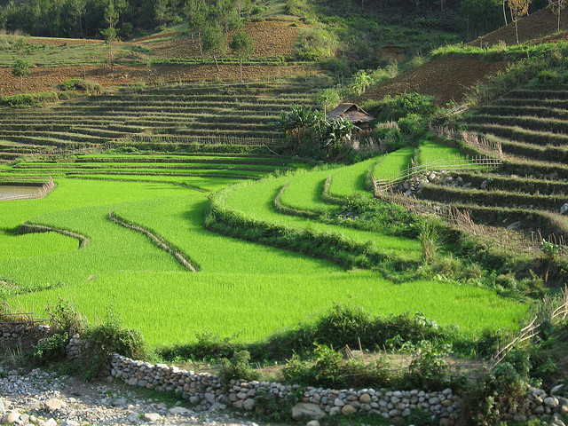 bright green rice terraces near Sapa, Vietnam
