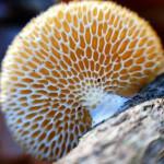 Polypore