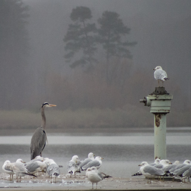 great blue heron and gulls