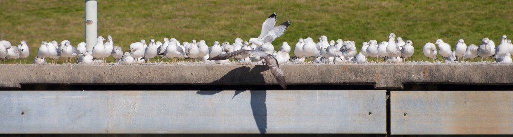 gull flock in long panorama