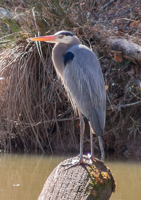 Great Blue Heron standing on log
