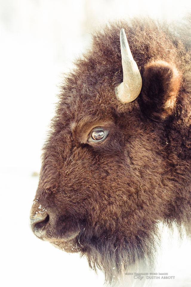 04 Bison Portrait Original