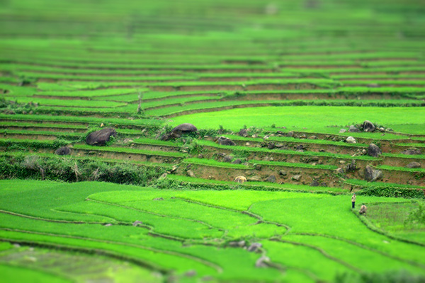 bright green rice terraces from Vietnam. toy model effect from Bokeh software
