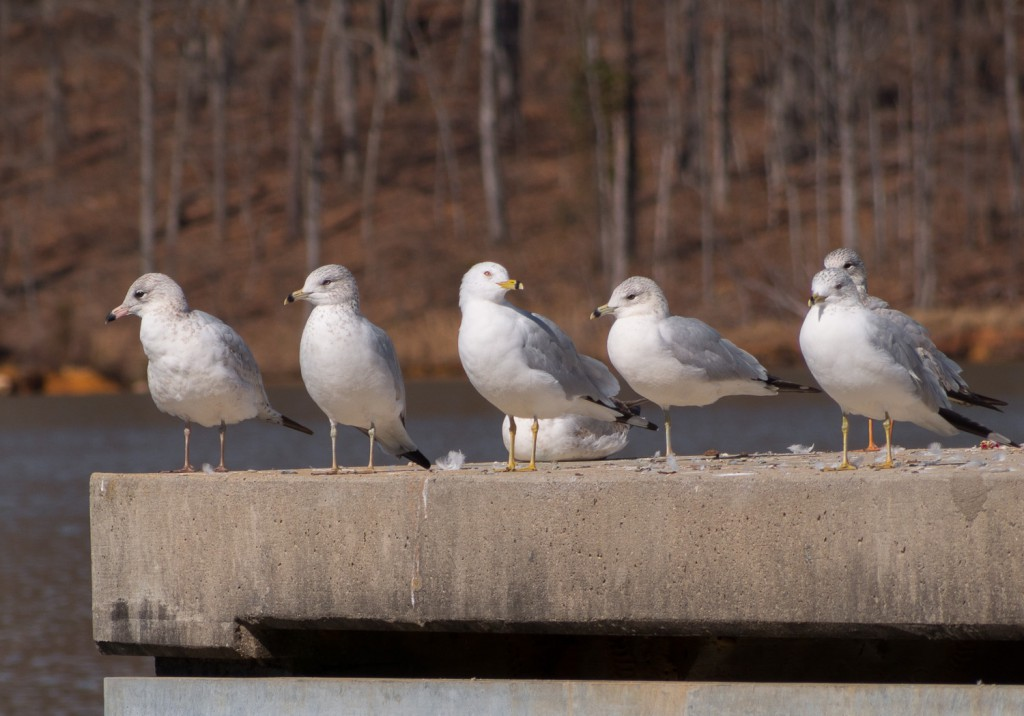 white gulls at Lake Crabtree, Raleigh, NC