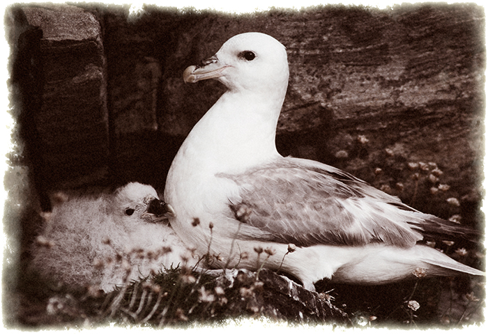 Nostalgia for Snow: A Climate Change Photography Project. Northern fulmar and chick