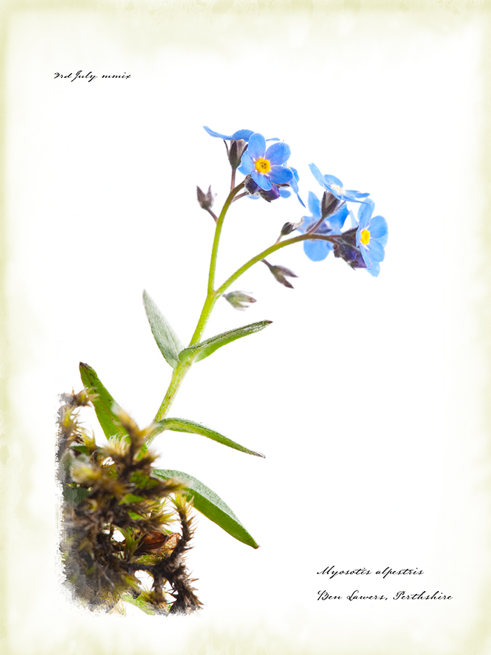 Nostalgia for Snow: A Climate Change Photography Project. Alpine forget-me-not, Scotland